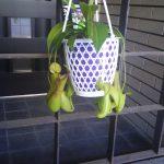 ハエトリクサ と ウツボカズラ ~ 食虫植物 ~